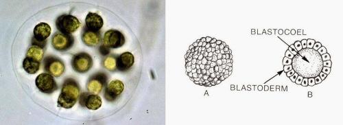 De acordo com Williamson (2001), a blástula de embriões de animais veio de uma hibridização com uma alga do grupo Volvocales (esquerda). Fotos pela Agência de Proteção Ambiental, Governo Federal dos EUA; e Pearson Scott Foresman, da Pearson Company.