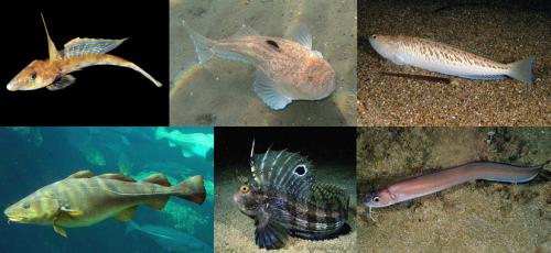 Seis espécies incluídas na ordem Jugulares (da esquerda para a direita, de cima para baixo): dragãozinho-comum (