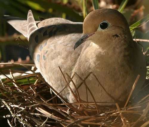 Dove_incubating_eggs
