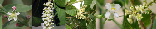A ordem Octandria Trigynia incluía (da esquerda para a direita) a erva-de-bicho-comum (Polygonum aviculare), a uva-da-praia-comum (Coccoloba uvifera), o cipó-caruru-de-cacho (Paullinia pinnata), a planta-balão (Cardiospermum halicacabum) e o saboeiro-comum (Sapindus saponaria). Créditos a Daniel di Palma (uva-da-praia), Marco Schmidt (cipó-caruru), João Medeiros (saboeiro) e usuários do Wikimedia Dalgial (erva-de-bicho) e KENPEI (planta-balão).