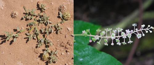A neurada-rastejante (Neurada procumbens, esquerda) e a fitolaca-americana (Phytolacca americana, direita) estavam entre as poucas espécies na ordem Decandria Decagynia. Créditos a Ori-Fragman Sapir (neurada) e Joshua Mayer (fitolaca).